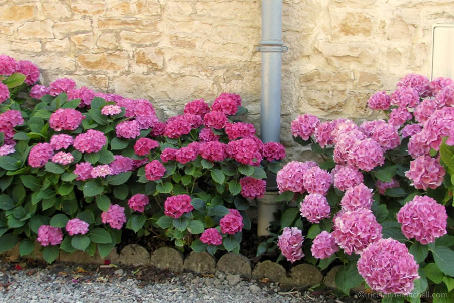 Pink hydrangea bushes fill a flowerbed in France.