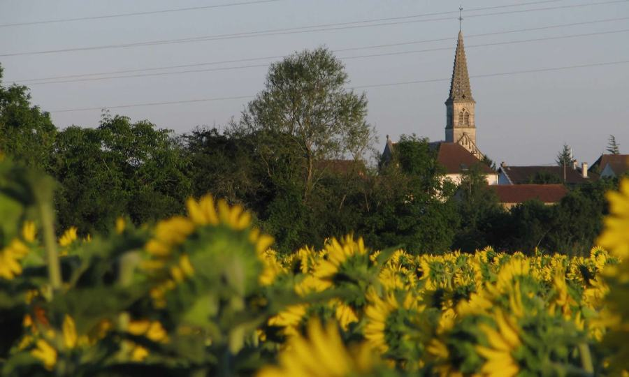A church steeple rises above a field of sunflowers in France's Burgundy region.