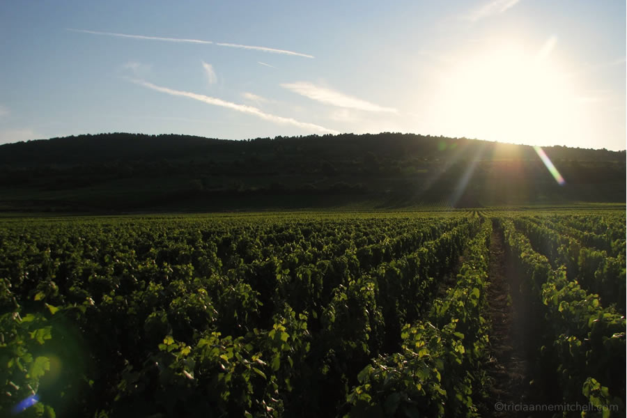 The sun prepares to set over a French vineyard.