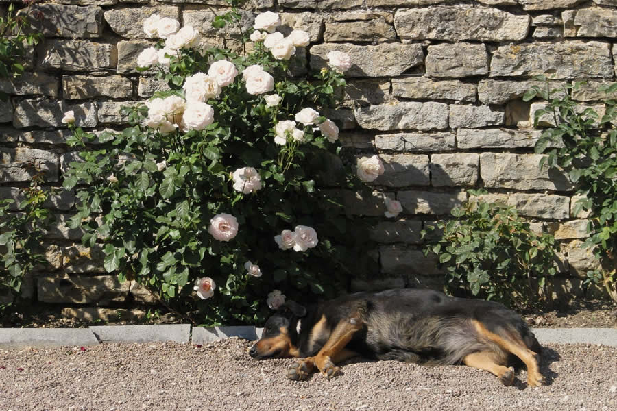 dog sleeping under rose bush Burgundy France