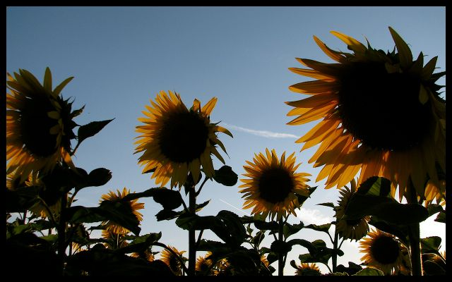 Tournesols in Burgundy, France yellow sunflowers and blue sky