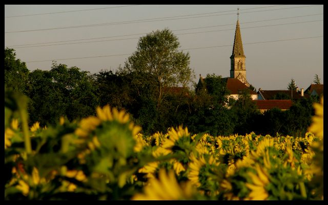 field of Sunflowers and Church Steeple in France Tricia Mitchell