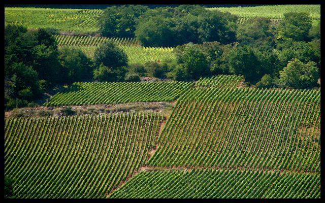 Burgundian Vineyards in France in July