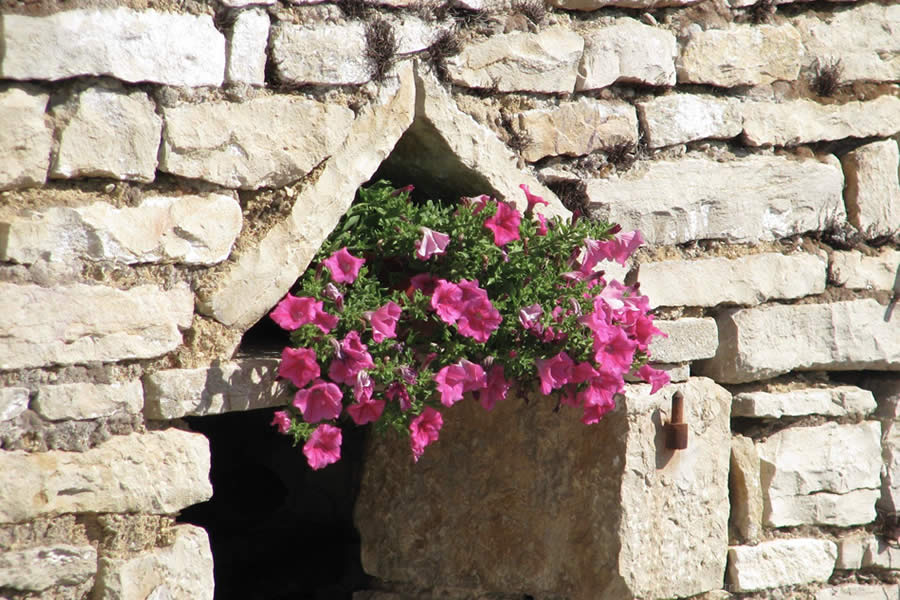 pink petunia ruined window Burgundy France