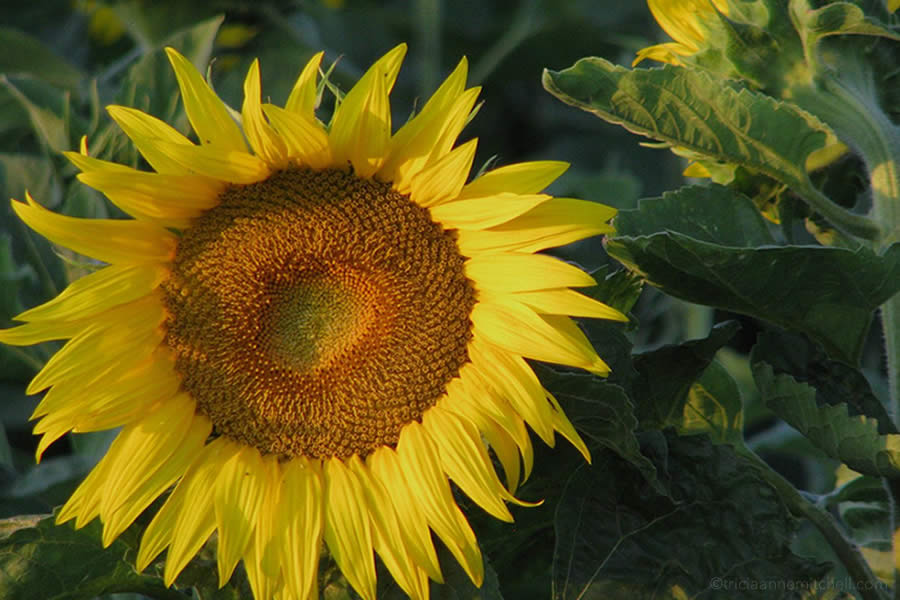 A sunflower in a field in Burgundy, France.
