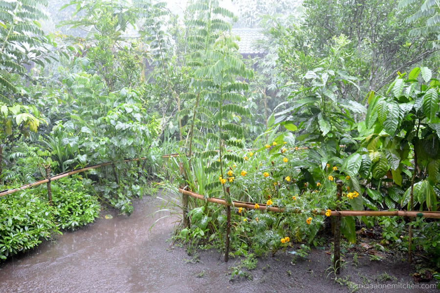 Rain falls heavily on the grounds of the Wedang Sari coffee plantation in Bali.