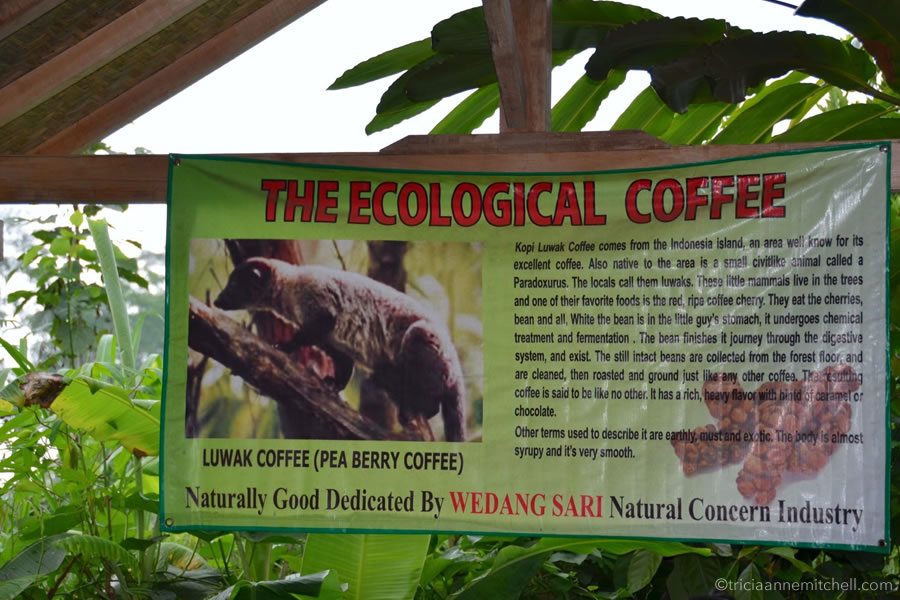 An informational banner, titled 'The Ecological Coffee' hangs on a Balinese coffee plantation seating area. It shows a civet, an animal that eats, then excretes coffee beans.