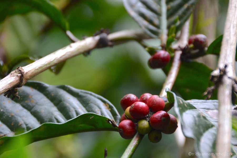 A branch of a coffee plant, shows cherry-like fruit, in Bali.