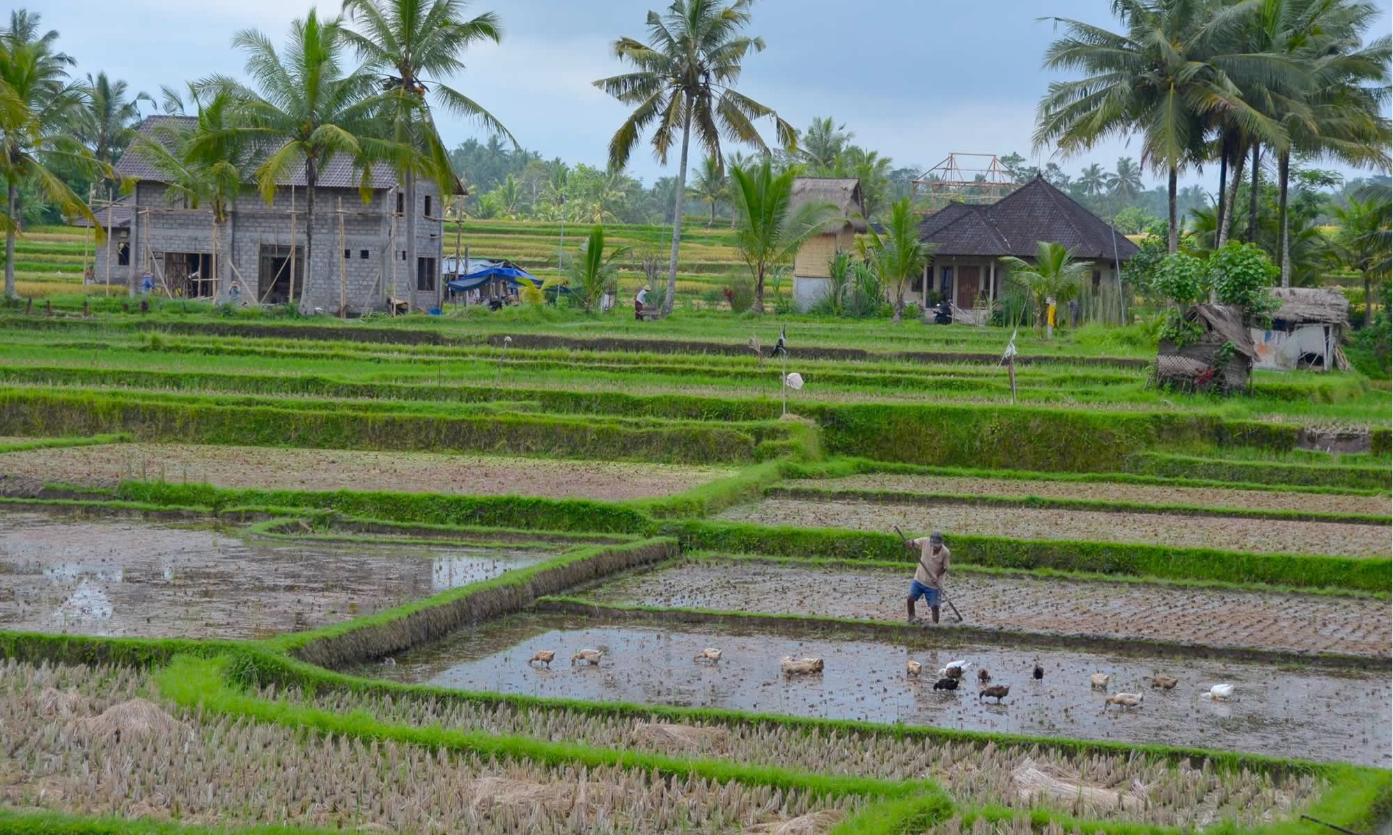 A rice farmer tends to his rice fields in Ubud, Bali.