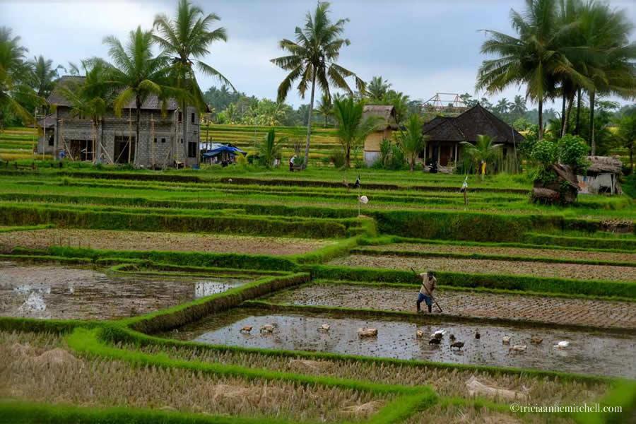 Rice Paddy Ubud Bali Indonesia