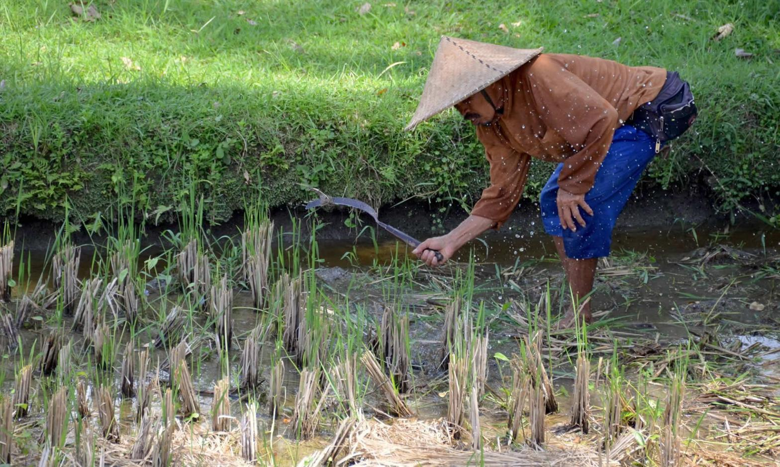 A rice farmer in Ubud, Bali cuts rice with a sickle.