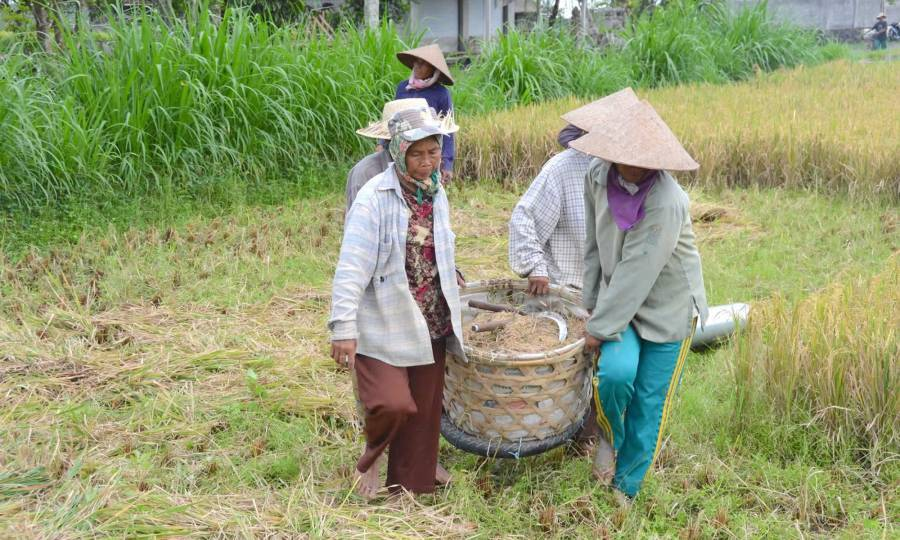 Women carry a basket of rice in Bali, as they prepare to thresh it.