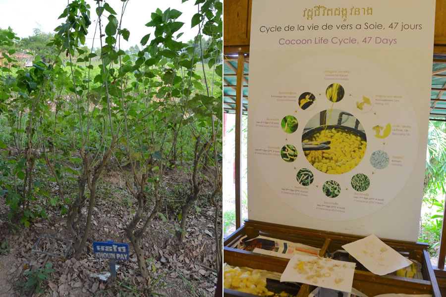 A mulberry bush (left) and a chart illustrating a silkworm / cocoon life cycle.
