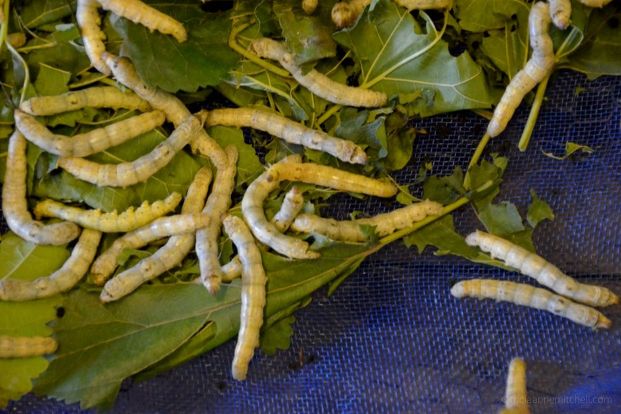 About 20 Bombyx Mori silkworms eat mulberry leaves on a tray on a Cambodian silk farm.