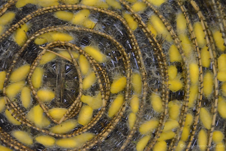 Yellow silkworm cocoons fill a wicker tray in a Cambodian silk making workshop.