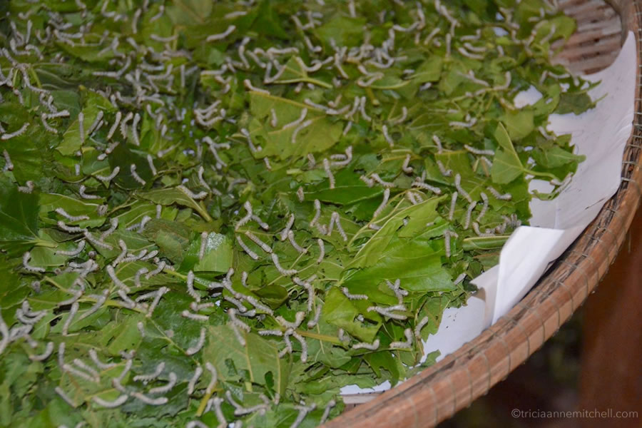 Silkworms eating a pile of mulberry leaves on a wicker tray..