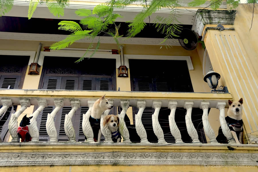 Four dogs on a balcony in Hoi An, Vietnam.