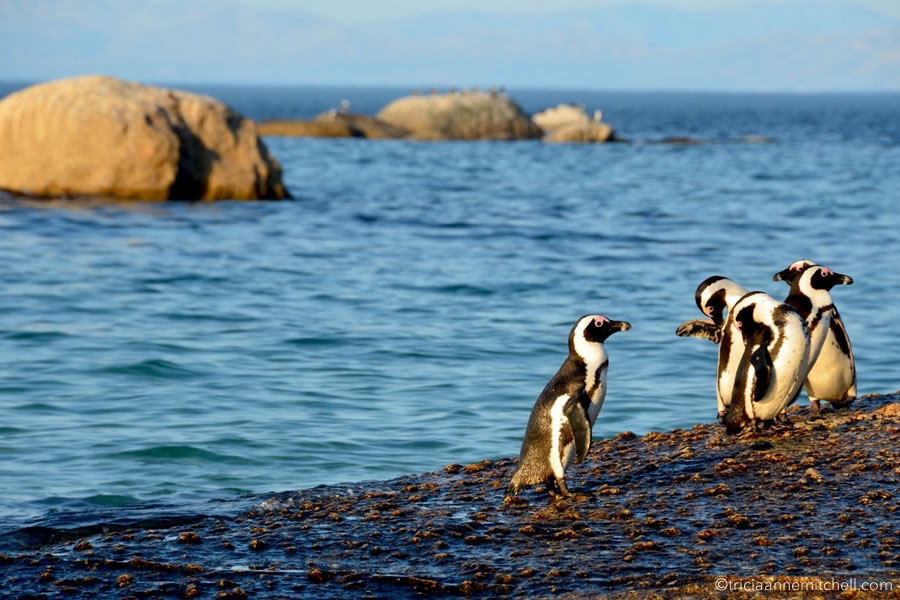 African penguins walk on the rocks near Simons Town, South Africa.