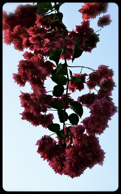 A branch of pink flowers, with a blue sky in the background.