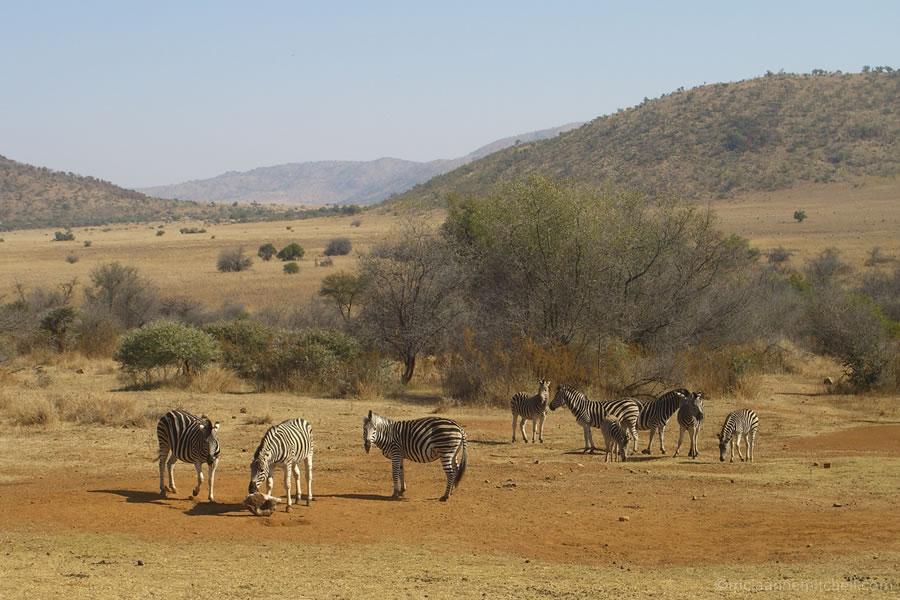 zebras Pilanesberg National Park and Game Reserve