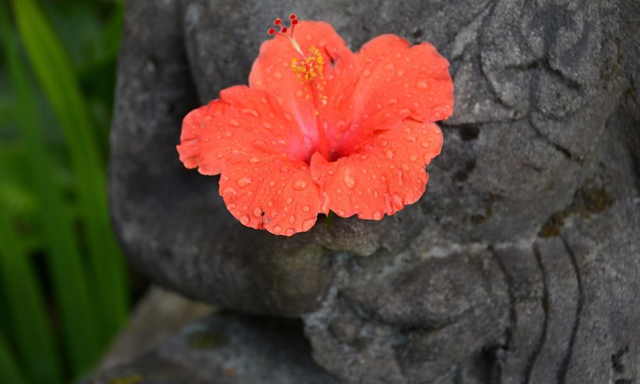 A red Hibiscus flower is placed in the hands of a statue in Ubud, Bali.