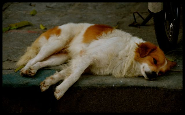 Dog napping in Hoi An Vietnam