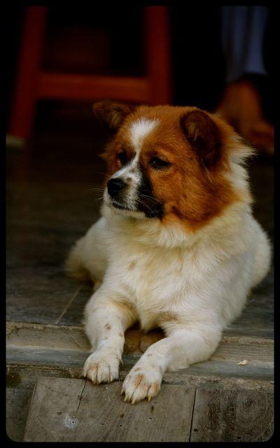 Dog resting in Hoi An Vietnam