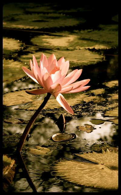Lily Pad and Flower in the Lodi Gardens - New Delhi, India