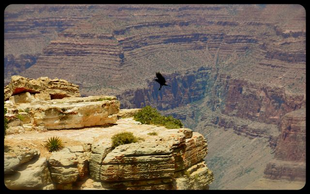 Bird Soaring at the Grand Canyon