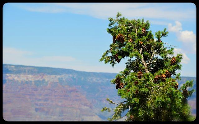 Evergreen at The Grand Canyon, Arizona