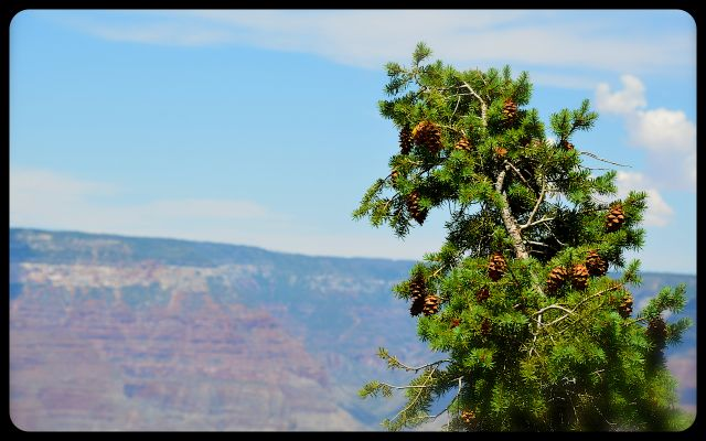 Evergreen at The Grand Canyon, Arizona