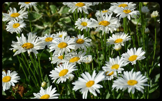 Daisies in Toronto