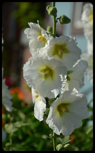 Hollyhocks in Kensington, Toronto