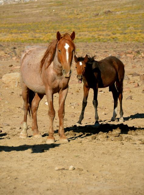 Horse colt and adult