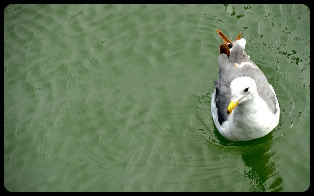 Seagull on Pier 39, San Francisco
