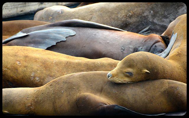 Sea lions of San Francisco