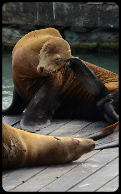 Sea lion in San Francisco