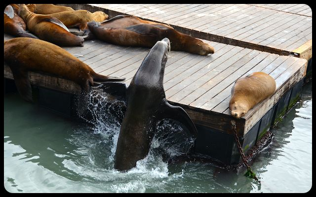 Sea lions in San Francisco