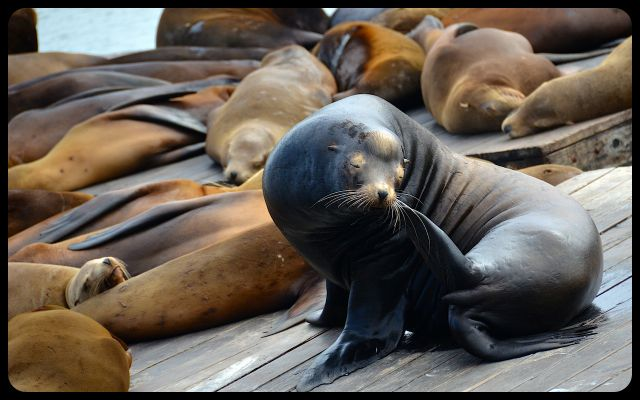 Sea lions of San Francisco