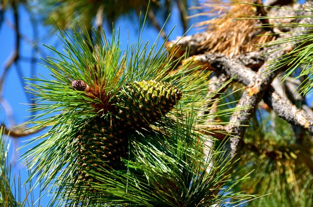 Lake Tahoe Pinecones