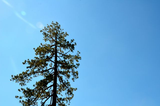 Lake Tahoe Fir Tree