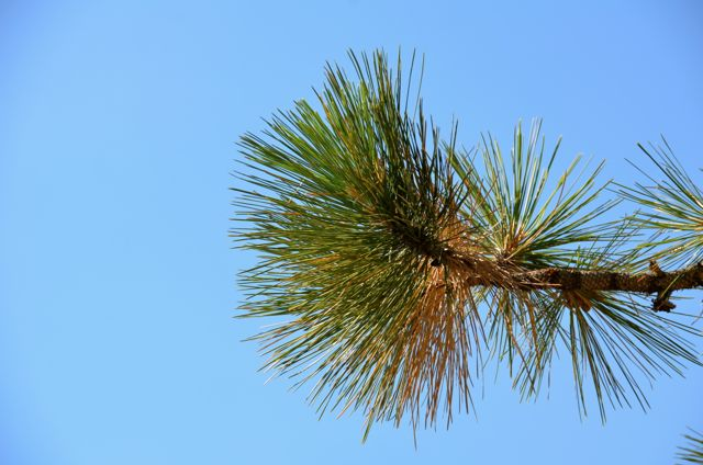 Lake Tahoe Evergreen Branch