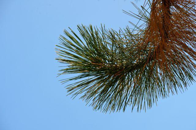 Lake Tahoe Fir Tree