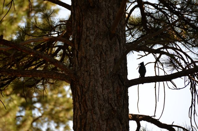 Bird Among Tahoe Pinecones in Tree