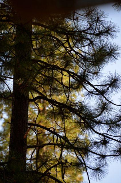 Tahoe Pinecones