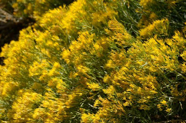 Yellow Flowers Overlooking Lake Tahoe