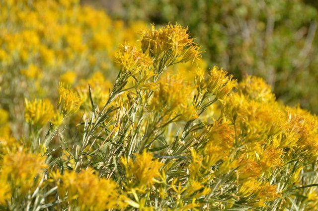 Yellow flowers at Lake Tahoe