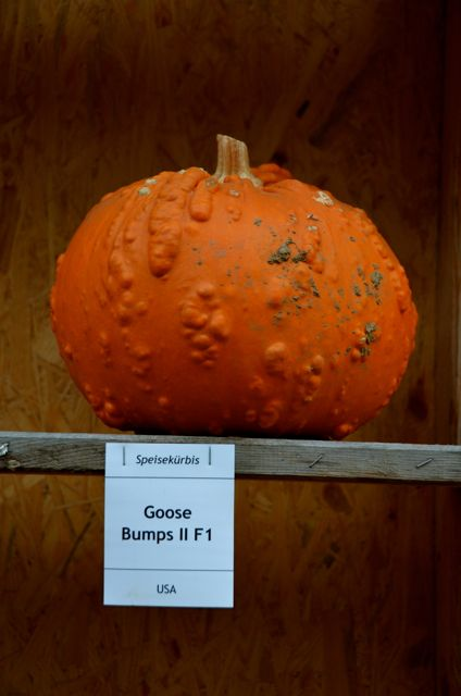 "An orange pumpkin from the USA, and called ""Goose Bumps II"" is on display at the Ludwigsburg Pumpkin Fest."