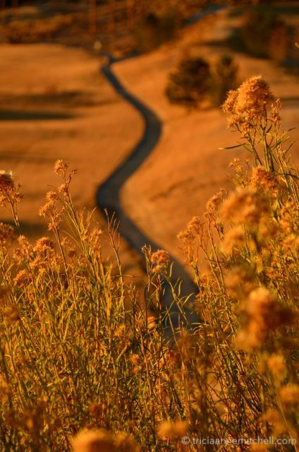 A sidewalk cuts through a golden field in Nevada.