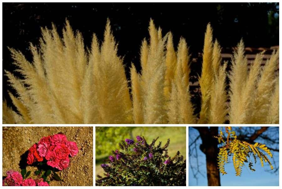 pampas grass, desert rose in high desert
